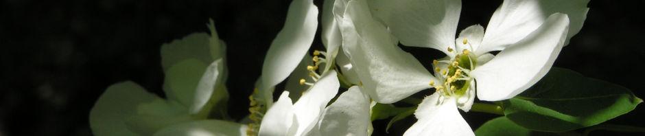 trauben-prunkspiere-bluete-weiss-exochorda-racemosa