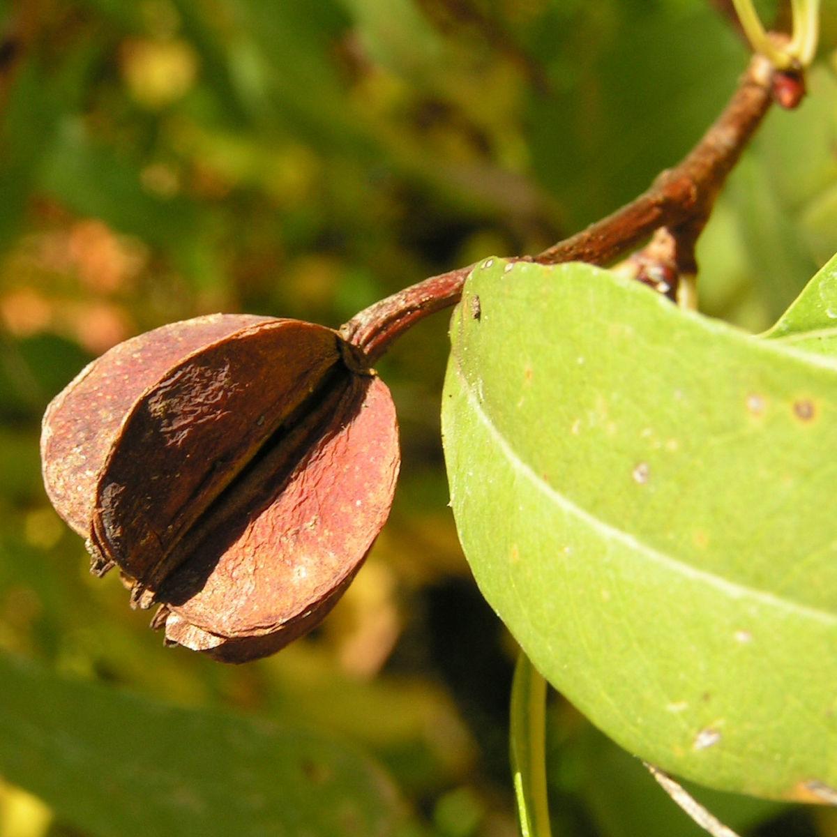 Trauben Prunkspiere Samenkapsel braun Exochorda racemosa
