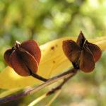 Trauben Prunkspiere Samenkapsel braun Exochorda racemosa 02