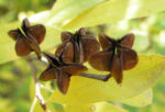 Trauben Prunkspiere Samenkapsel braun Exochorda racemosa 03
