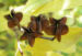 Zurück zum kompletten Bilderset Trauben-Prunkspiere Samenkapsel braun Exochorda racemosa