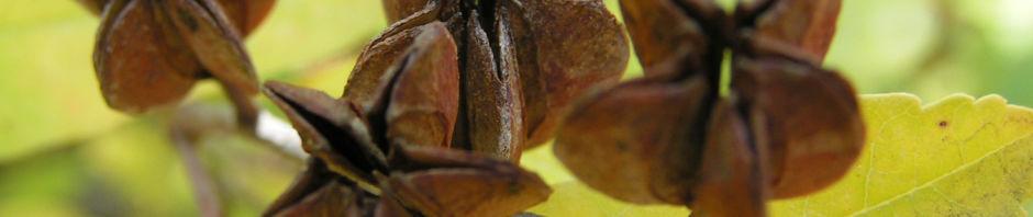 trauben-prunkspiere-samenkapsel-braun-exochorda-racemosa