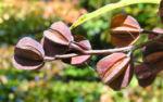 Trauben Prunkspiere Samenkapsel braun Exochorda racemosa 04