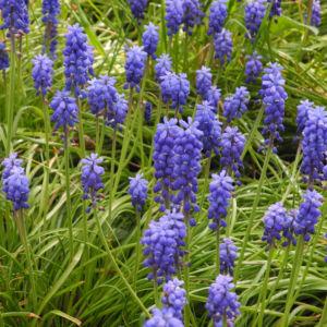 Traubenhyazinthe Bluete blau Muscari chalusicum 11