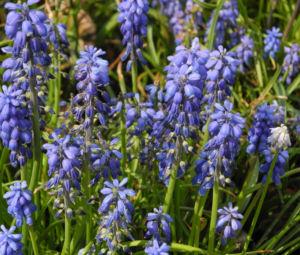 Traubenhyazinthe Bluete blau Muscari chalusicum 12