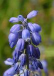Traubenhyazinthe Bluete blau Muscari chalusicum 13