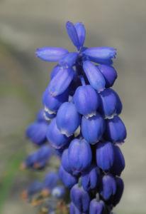 Traubenhyazinthe Bluete blau Muscari chalusicum 15