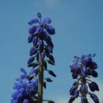Traubenhyazinthe Bluete blau Muscari chalusicum 18