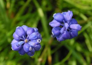 Traubenhyazinthe Bluete blau Muscari chalusicum 19