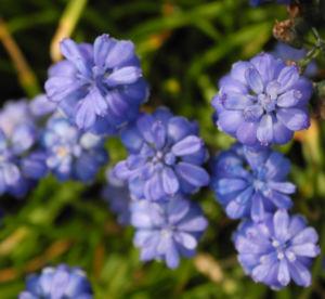Traubenhyazinthe Bluete blau Muscari chalusicum 20