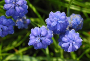 Traubenhyazinthe Bluete blau Muscari chalusicum 21