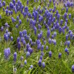 Traubenhyazinthe Bluete blau Muscari chalusicum 22