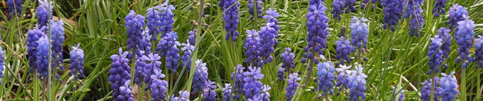 traubenhyazinthe-bluete-blau-muscari-chalusicum