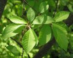 Traubenkirsche Bluetendolden weiss Prunus pubigera 03