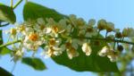 Traubenkirsche Bluetendolden weiss Prunus pubigera 04