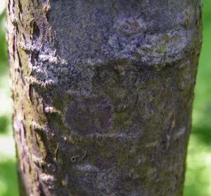 Traubenkirsche Bluetendolden weiss Prunus pubigera 05