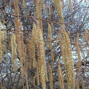 Trauerweide Salix alba 01