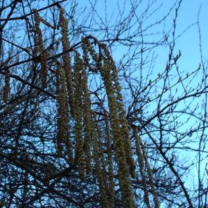 Trauerweide Salix alba 03