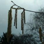 Bild: Trauerweide Blüte Salix alba