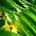 Bild: Trichter Farn Blätter - Matteuccia struthiopteris