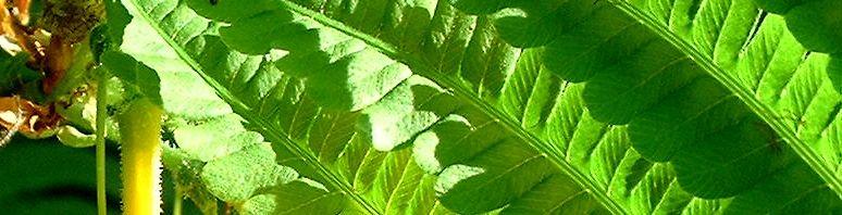 Anklicken um das ganze Bild zu sehen Trichter Farn Blätter - Matteuccia struthiopteris