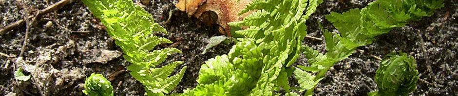 Anklicken um das ganze Bild zu sehen Trichterfarn rollend - Matteuccia struthiopteris