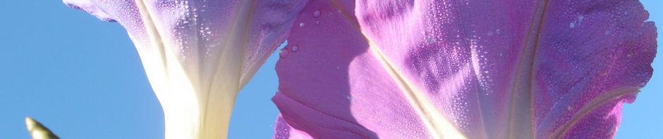trichterwinde-prachtwinde-blueten-lila-ipomoea-tricolor