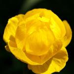 Trollblume Bluete gelb Trollius europaeus 01
