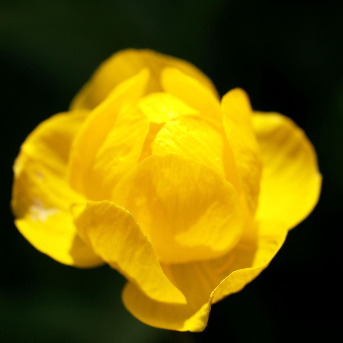 Trollblume Bluete gelb Trollius europaeus