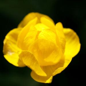 Trollblume Bluete gelb Trollius europaeus 03
