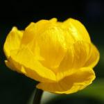 Trollblume Bluete gelb Trollius europaeus 06