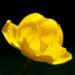 Zurück zum kompletten Bilderset Trollblume Blüte gelb Trollius europaeus