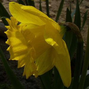 Trompeten Narzisse Osterglocke Narcissus pseudonarzissus 03