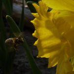 Trompeten Narzisse Osterglocke Narcissus pseudonarzissus 04