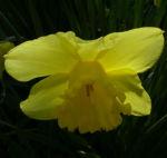 Trompeten Narzisse Narcissus pseudonarcissus 01