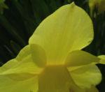 Trompeten Narzisse Narcissus pseudonarcissus 02