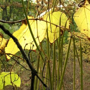 Trompetenbaum Blatt Frucht gelbgruen Catalpa bignonioides 01