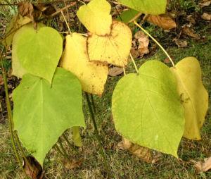 Bild: Trompetenbaum Blatt Frucht gelbgruen Catalpa bignonioides