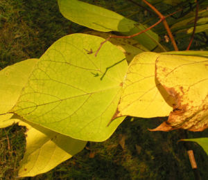 Trompetenbaum Blatt Frucht gelbgruen Catalpa bignonioides 04