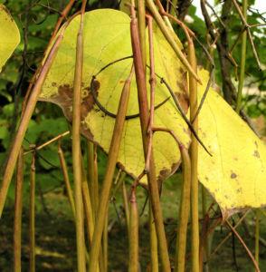 Bild: Trompetenbaum Blatt Frucht gelbgruen Catalpa