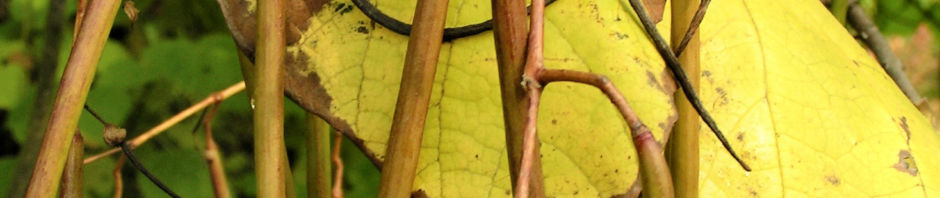 trompetenbaum-blatt-frucht-gelbgruen-catalpa-bignonioides