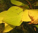 Trompetenbaum Blatt Frucht gelbgruen Catalpa 03