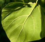 Trompetenbaum Blatt gruen Catalpa bignonioides 01