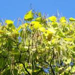 Trompetenbaum Blatt gruen Catalpa bignonioides 02