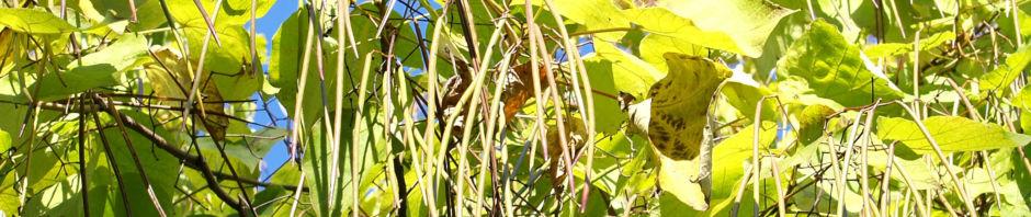 trompetenbaum-blatt-gruen-catalpa-bignonioides