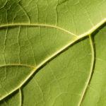 Trompetenbaum Blatt gruen Catalpa bignonioides 03