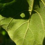 Trompetenbaum Blatt gruen Catalpa bignonioides 04