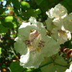 Trompetenbaum Bluete Catalpa bignonioides 01
