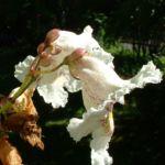 Trompetenbaum Bluete Catalpa bignonioides 04