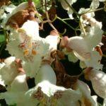 Trompetenbaum Bluete Catalpa bignonioides 05